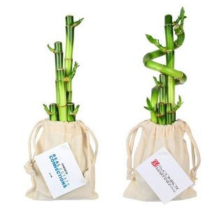 5 Lucky Bamboo Spiral Stalks in Cotton Bag